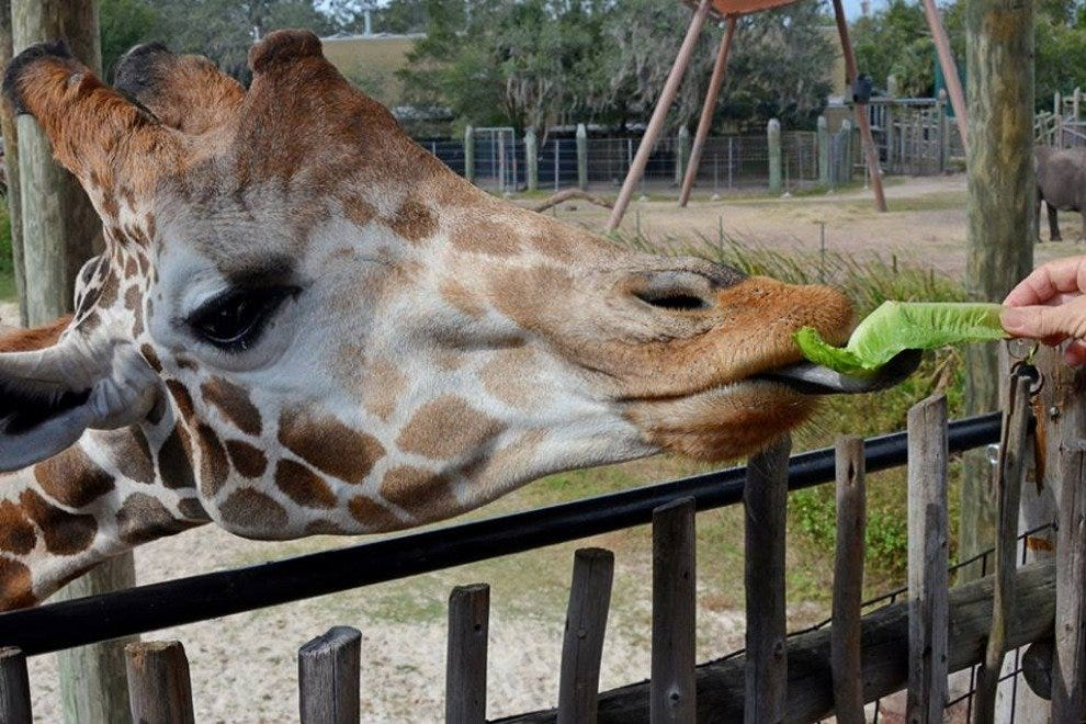 Kids love seeing the giraffe's 18-inch tongue!