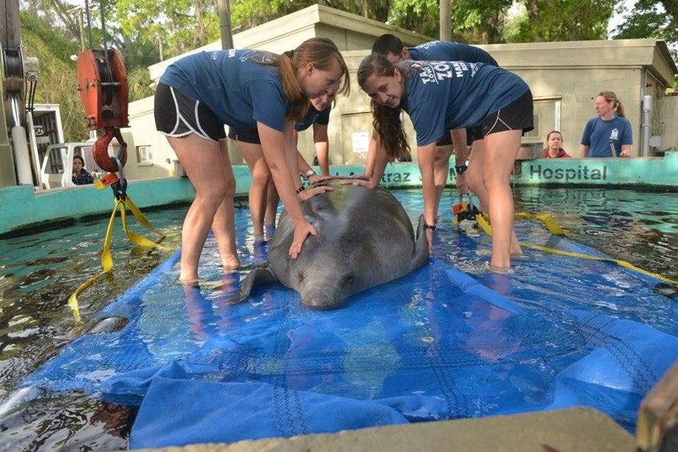 The zoo's unique Manatee Hospital has treated over 330 manatees
