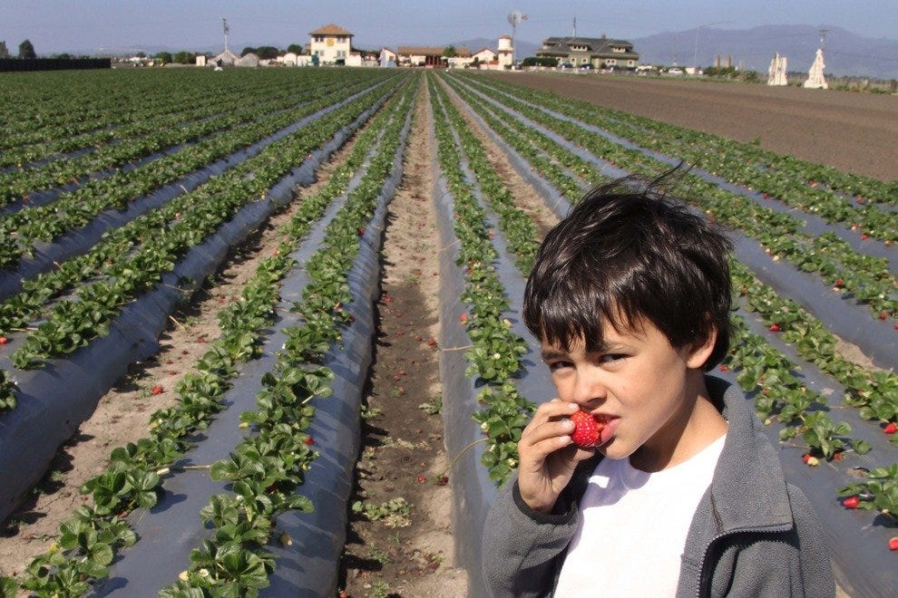Christopher Bunn, son of The Farm owner, bites into a juicy organic strawberrry.
