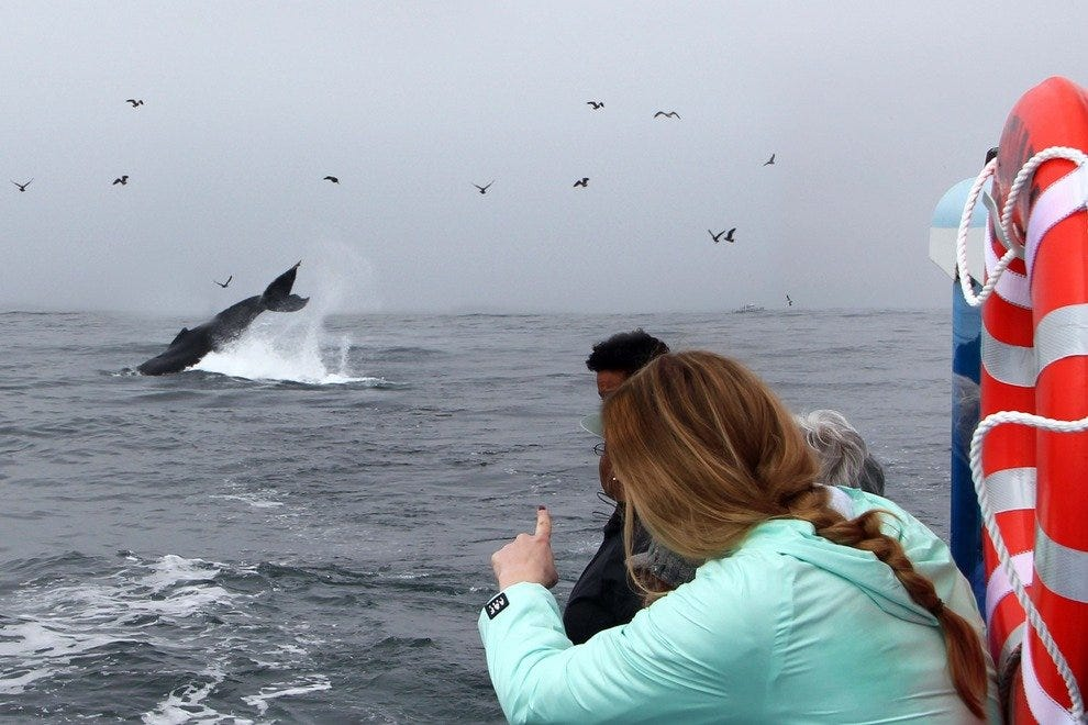 A humpback whale leaps in the air to the delight of whale-watchers.