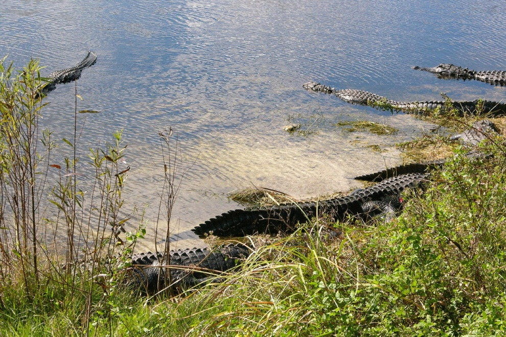 Alligators congregate at the Oasis Visitor Center