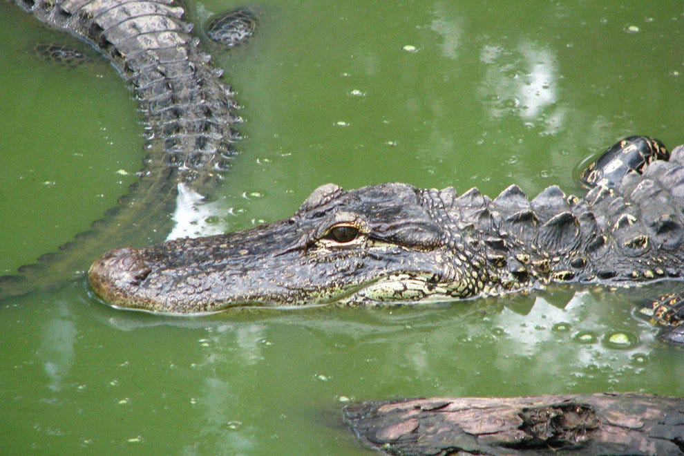 Alligators are among the many species of wildlife you're likely to see at Big Cypress National Preserve