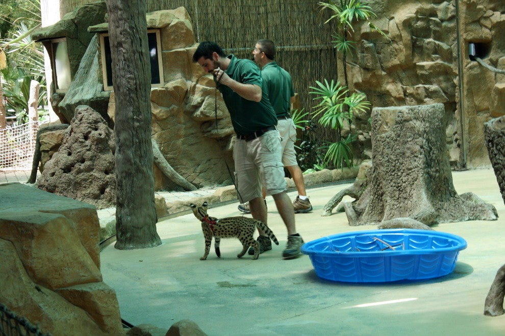 Trainers parade a serval kitten around the Safari Canyon Theater stage