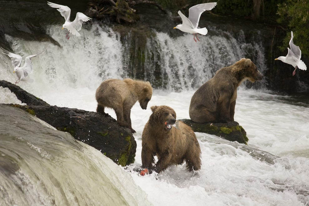Grizzlies make great fishermen with those big sharp claws to scoop up fish.