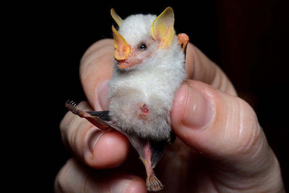 洪都拉斯帐篷蝙蝠宝宝