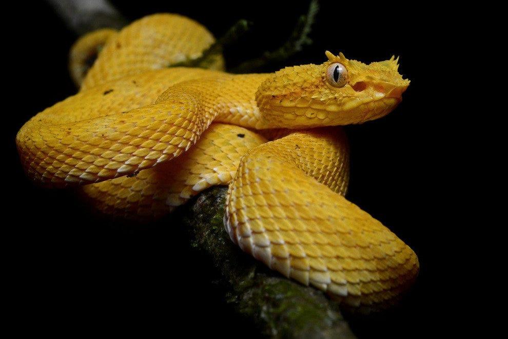 哥斯达黎加眼睫毛棕尾蛇