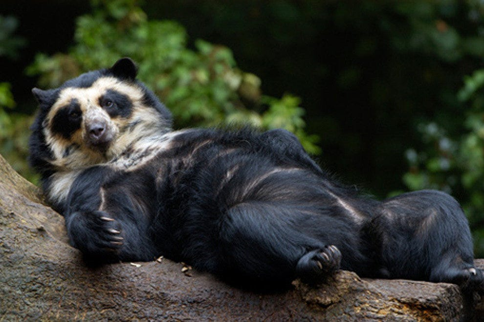 Andean bears are part of the zoo's expansion plans
