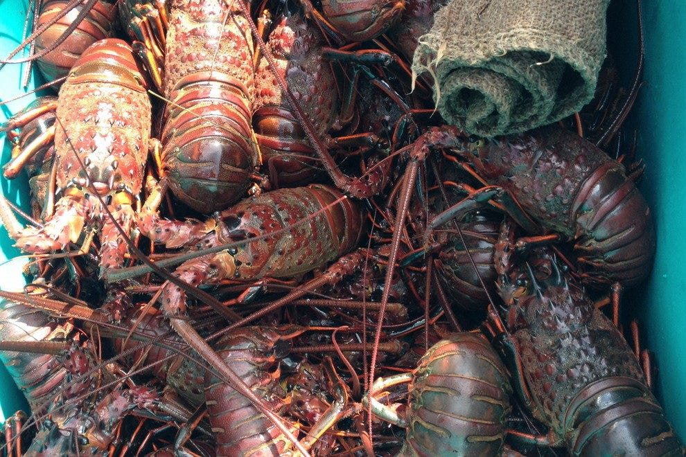 Take your pick from tubs of spiny lobster