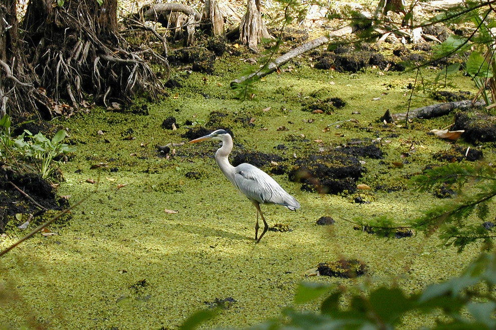 A heron at Corkscrew Swamp Sanctuary