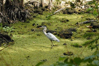 Corkscrew Swamp Sanctuary: Explore Old-Growth Forest, Florida Nature