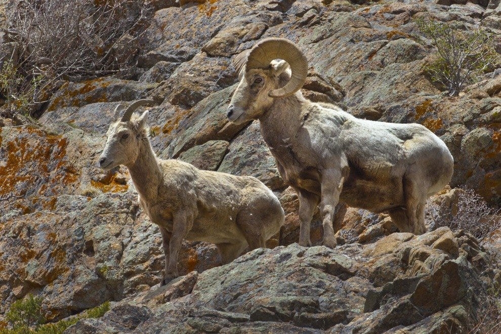 FInd big horn sheep throughout the park year-round.