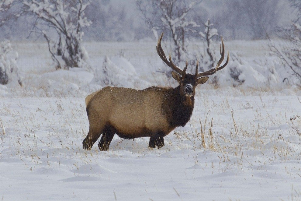 Elk aren't rare to spot in the Rocky Mountain National Park.