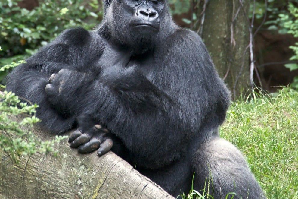 布朗克斯动物园的西部低地大猩猩