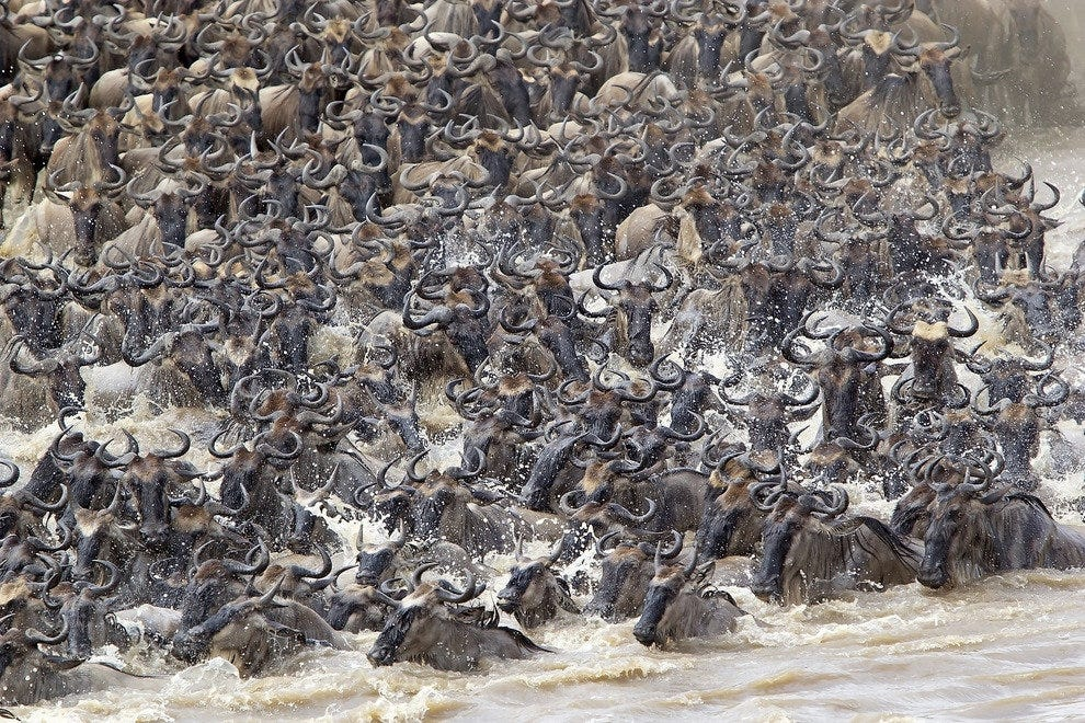 Wildebeest in Kenya and Tanzania