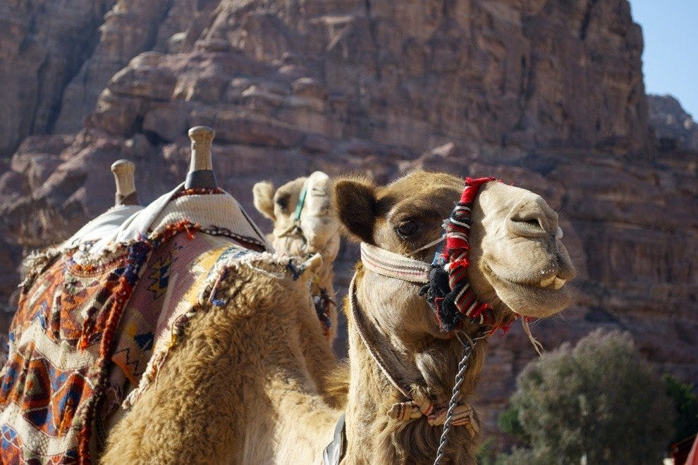Camel for rent in Petra