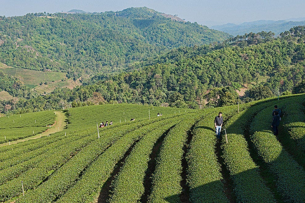 Doi Mae Salong, tea plantation central