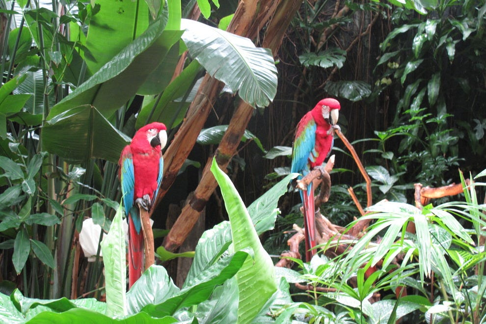 Two green-winged macaws at the Bloedel Conservatory