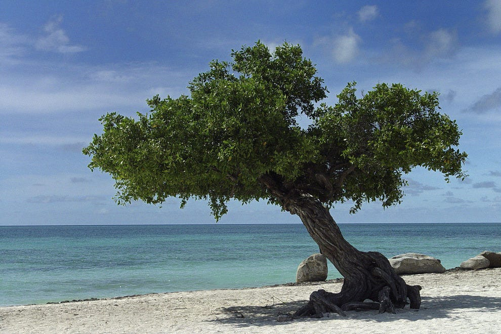An iconic divi divi tree on Aruba