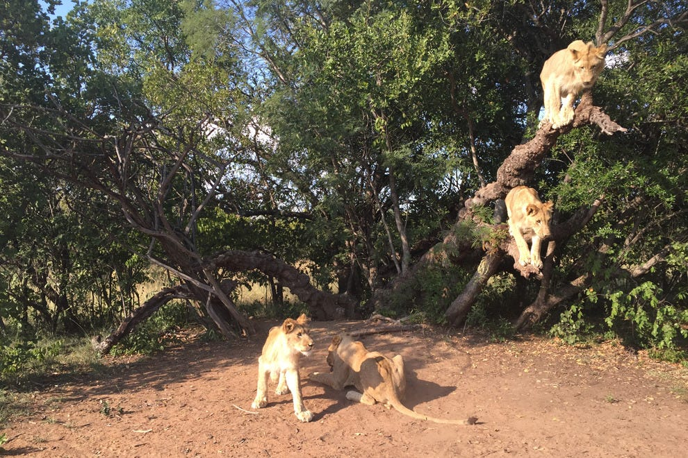 Walk with lions at Ukutula Lodge & Lion Research Centre