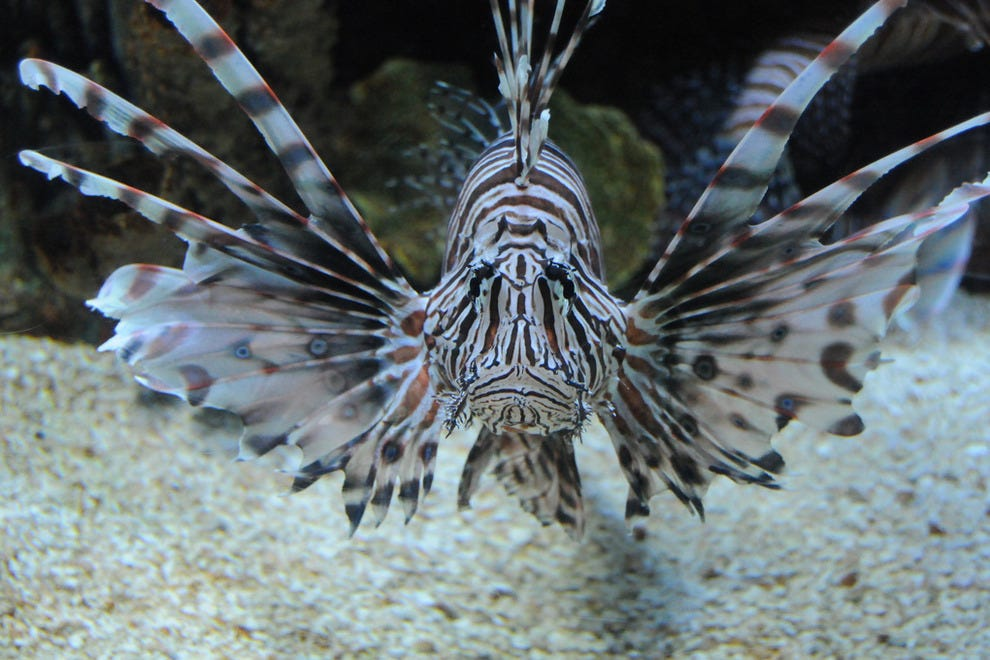 Lionfish: the Delicious Invasive Species
