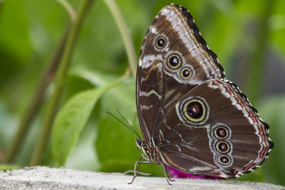Blue morpho butterfly at rest