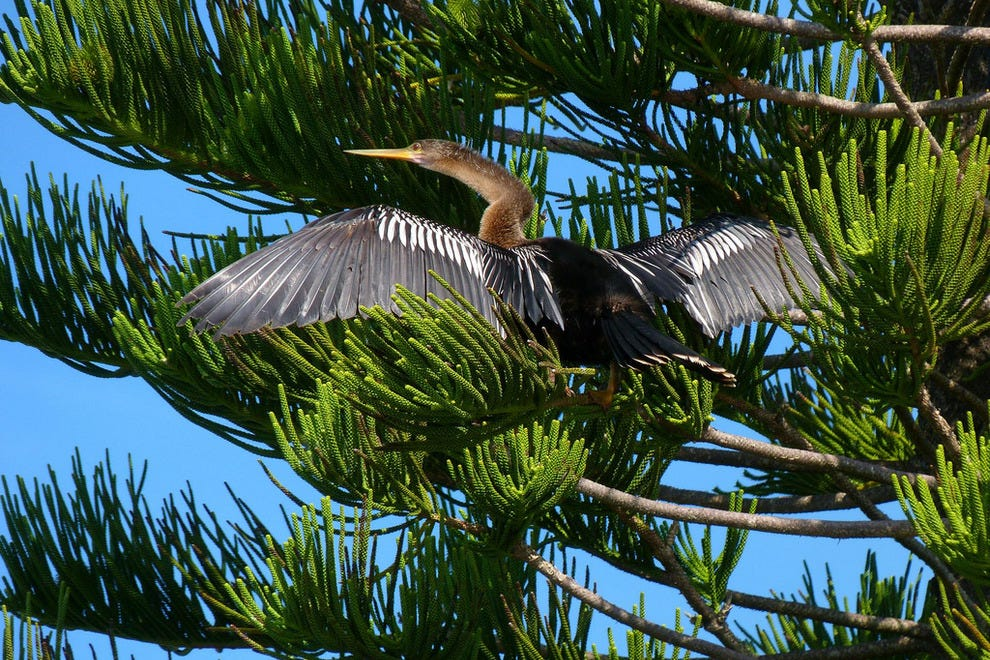 An anhinga spotted in the Thousand Islands