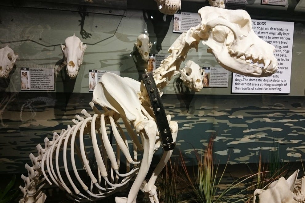 Even man's best friend gets a place of honor. This sturdy skeleton belongs to the Great Pyrenese.
