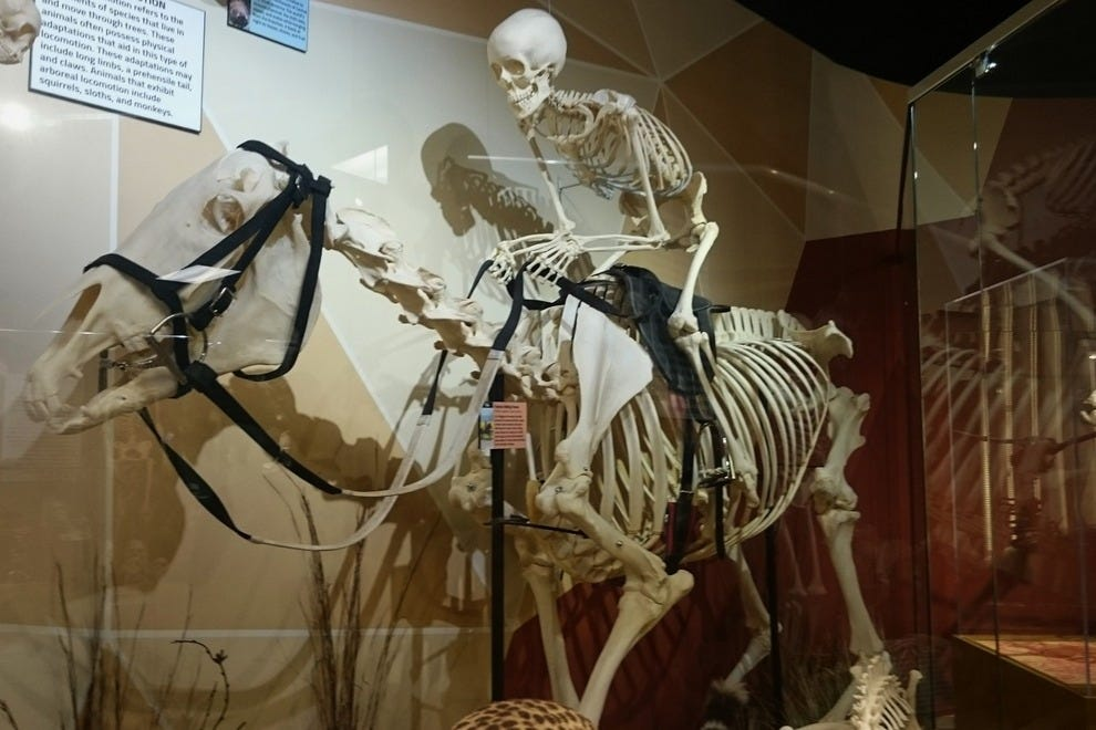At Skeletons: Animals Unveiled!, human exhibits showcase everything from evolution to ancient bone carvings to medical conditions
