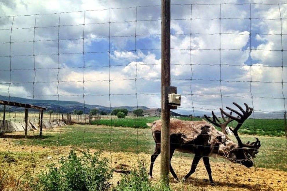 Reindeer at ElkUSA in Del Norte