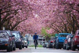 The Vancouver Cherry Blossom Festival is in Bloom