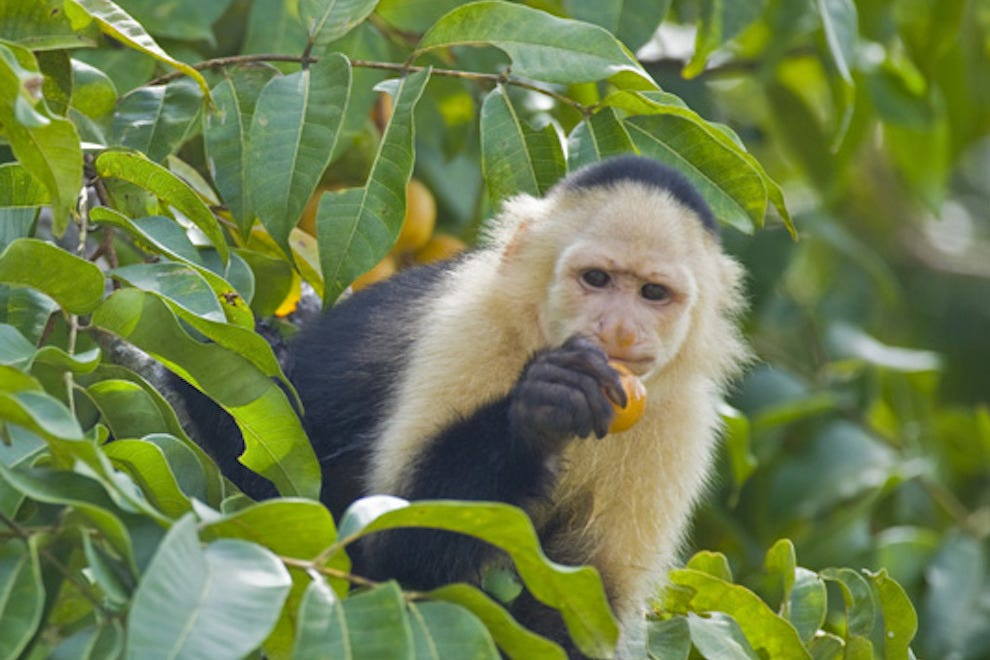 A monkey in Panama