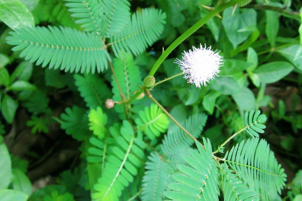Mimosa pudica, the Sensitive plant