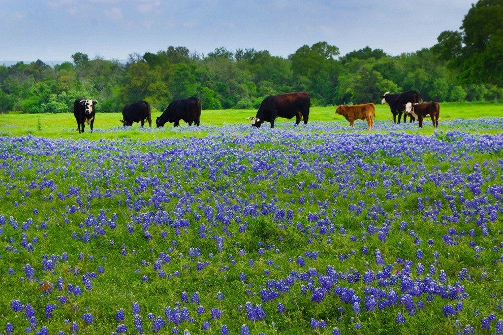 Bluebonnet Bounty