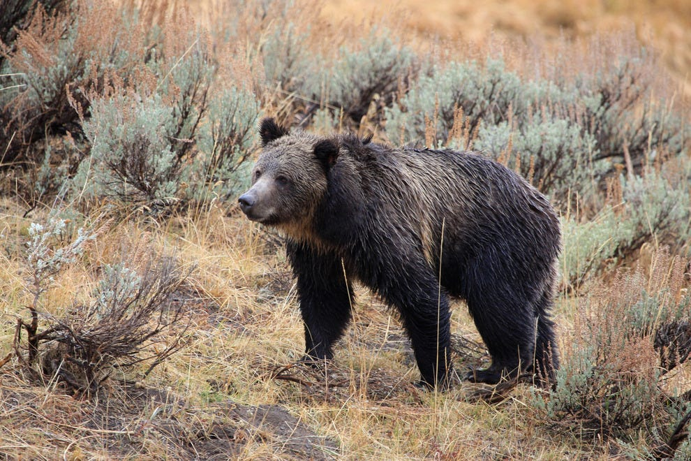 Grizzly bear of Yellowstone