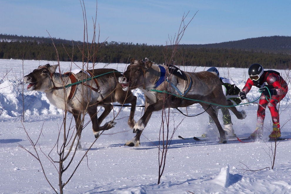 King of Reindeer race in Finland shows off the speed these gentle creatures can reach