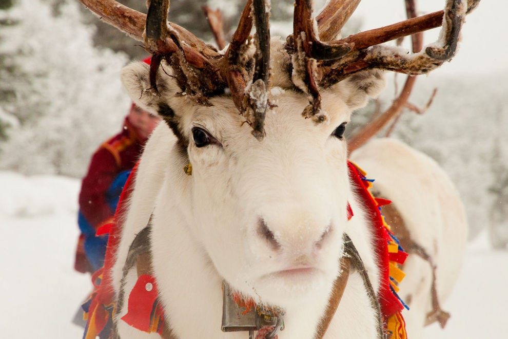 An all-white reindeer means good luck
