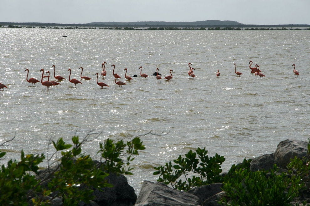 West Indian flamingos, Inagua