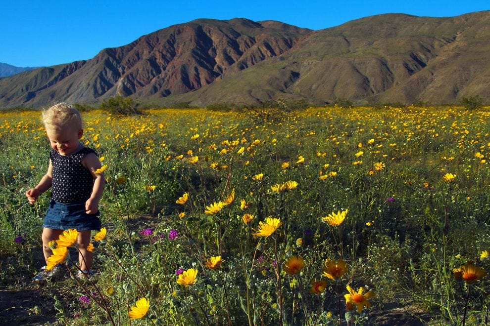 you ve got to see this bloom of wildflowers in the desert slideshows photo gallery
