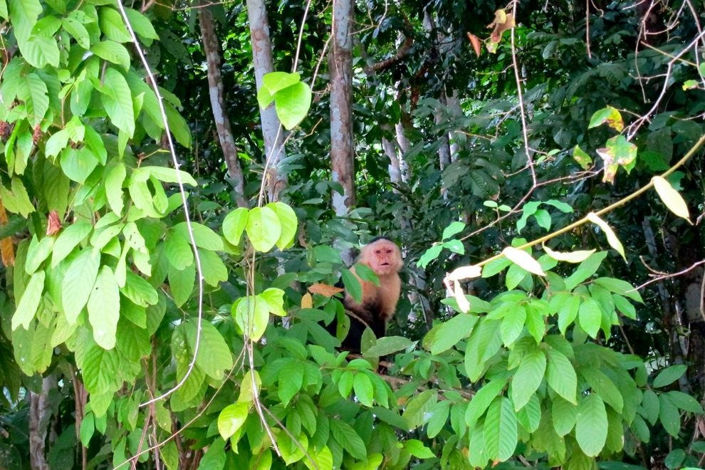 Several species of monkeys live on Gatun Lake including howlers, tamarins and white-faced capuchins like this one.