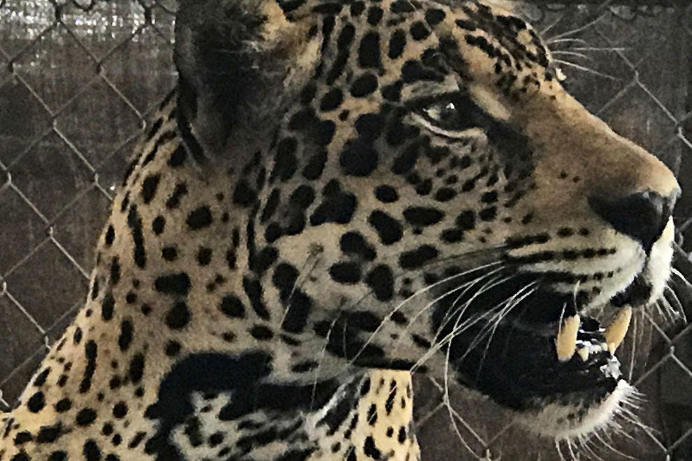 The situation for Jaguars in Panama is critical, making saving Fiona a huge success for vets and researchers.