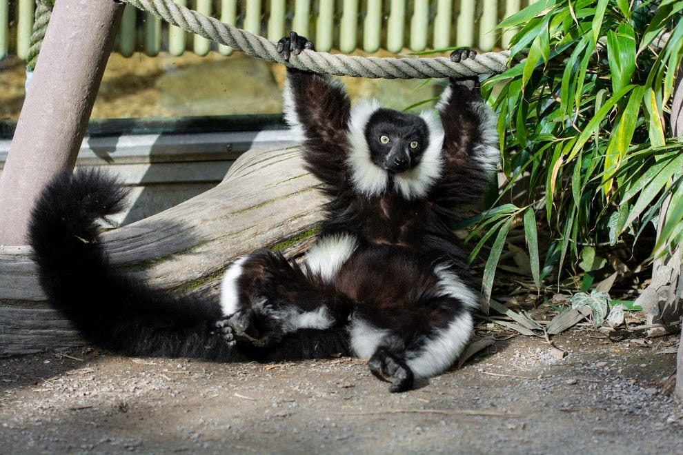 Lemurs live on the island of Madagascar off East Africa