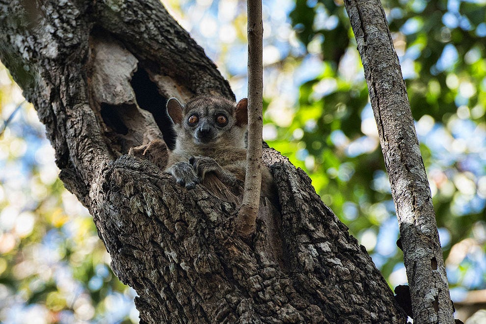 One of Madagascar's smallest and nocturnal lemurs, the red-tailed sportive lemur