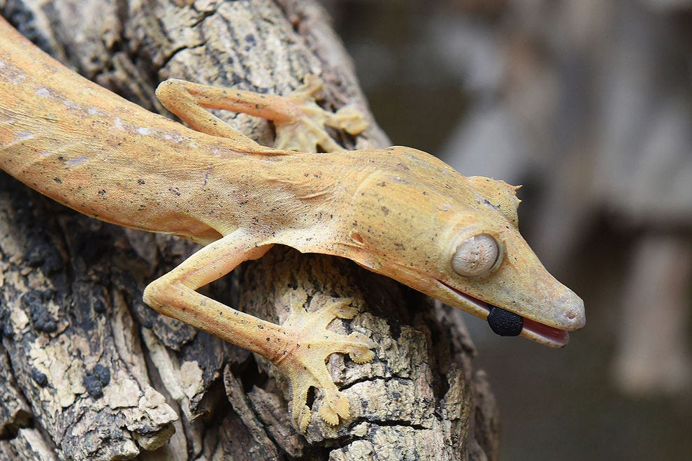Uroplatus lineatus gecko with his tongue sticking out