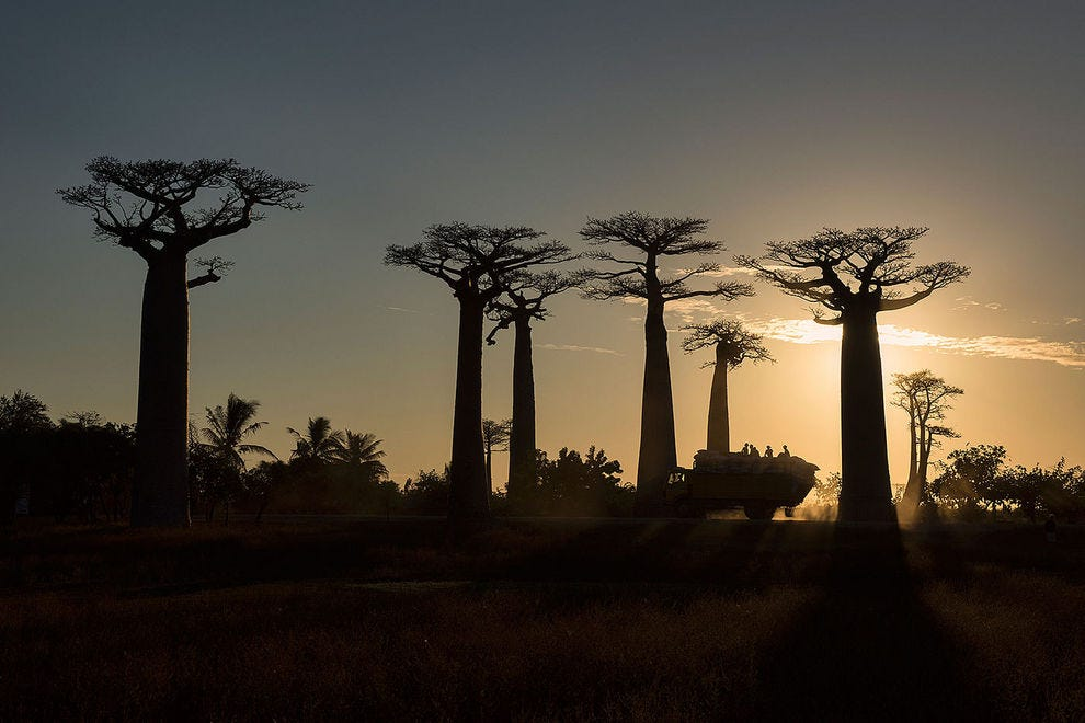 Stunning silhouettes at sunset along the Avenue of the Baobabs
