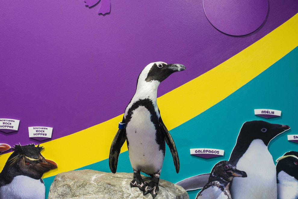 Penguin Encounter at Ripley's Aquarium of the Smokies