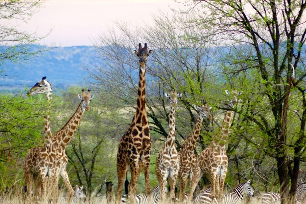 Giraffes peaking through the trees in Serengeti National Park