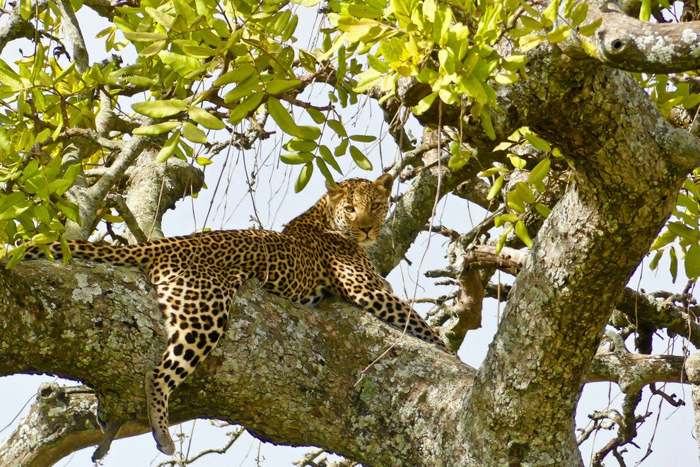 Leopard in a tree, seen on a game drive in Serengeti National Park
