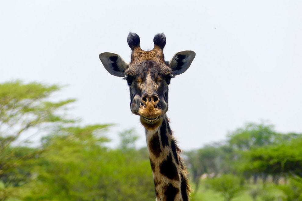 Giraffe on the side of the road in Serengeti National Park