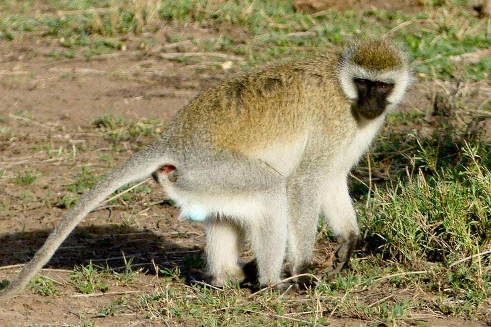 Vervet monkey in Moru Kopjes in Serengeti National Park