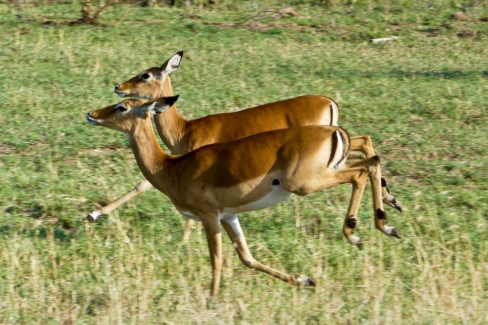 Two female impalas, moving by leaps and bounds